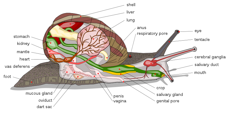 Anatomical snail diagram